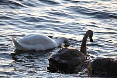 IMG_7807 (pekka.jarvelainen) Tags: joutsen swan vene auringonlasku sunset
