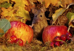 Autumn mouse  with apples  (2) (Simon Dell Photography) Tags: mouse mice animals nature wildlife wild autumn fall festive seasonal season uk garden english country old bright vibrant display scene george simon dell photography card posters prints christmas xmas cute fun funny