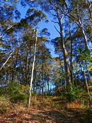 Australian forest talls II (elphweb) Tags: hdr highdynamicrange nsw australia forest bush tree trees wood woods spottedgum spottedgums spottedgumtrees