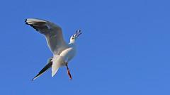 geschickter Fänger (karinrogmann) Tags: lachmöweblackheadedgull gabbianocomune