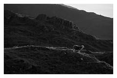 Silver Lining (dandraw) Tags: sheep silver liningsunlightthe lakesthe lake districtcumbriablack whitemountainsmonomonochromeherdwickherdwick herdys grass fuji fujifilm xt3
