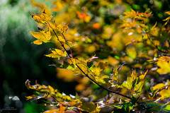 Autumn Leaves (YL168) Tags: autumnleaves sonyemount