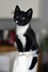 _DSC9871 (Raphistole) Tags: kitten kitty chat cat d7000 50mm f14 nikon nikkor black white animal baby bokeh pet