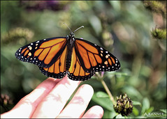 Only One More To Go... (angelakanner) Tags: canon70d garden longisland monarch