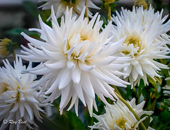 Dahlia (Raginmund) Tags: light flower flowers dahlia garden uk white focusstackinginps