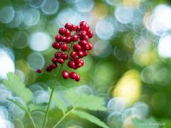 Red baneberry fruit : tempting but deadly. (Eden Bromfield) Tags: actaearubra redbaneberry berries fruit red woodland plant canada meyeroptikgörlitzoreston5018earlyzebram42 nature bokeh bubblebokeh vintagelens edenbromfield