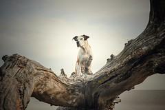 9/12 Edgar on the woods (Jutta Bauer) Tags: september autumn beach driftwood 12monthsforedgar 12monthsfordogs pitbullmix boxermix dog excellentedgar edgar
