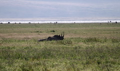 Black Rhino (jd.willson) Tags: jd willson jdwillson nature wildlife mammal africa tanzania ngorogoro crater black rhino rhinoceros