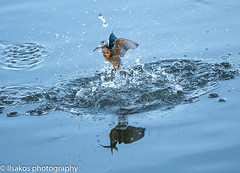 kingfish at oostvaardersplassen