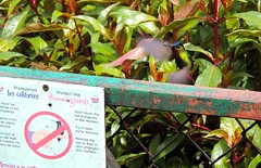 Don't Touch the Hummingbirds (William Young Fascinations) Tags: costarica quetzalparadise lodge paraisoquetzal hummingbird tourists fierythroatedhummingbird sign feeders sugarwater colibries bird