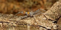 Assassin Bug Nymph (Isyndus sp., Reduviidae) (John Horstman (itchydogimages, SINOBUG)) Tags: insect macro china yunnan itchydogimages sinobug entomology bug assassin nymph hemiptera reduviidae