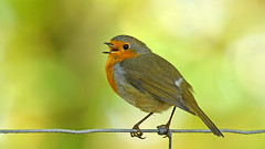 Tschüss, eine Woche Flickr Pause!   -   Bye, a week Flickr break! (karinrogmann) Tags: rotkehlchen robin pettirosso sigmacontemporary