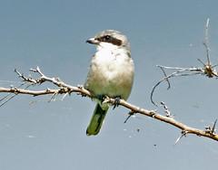 Loggerhead Shrike (1krispy1) Tags: shrike loggerheadshrike texasbirds
