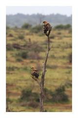 2018 02 01_Tawny Eagle-1 (Jonnersace) Tags: tawnyeagle aquilarapax roofarend eagle predator raptor bird wild brown tree plains beak nature krugernationalpark canon wildwingssafaris canon7dii canon100400ii