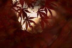 starlight (birdcloud1) Tags: leaves autumn red warm doubleexposure incameradoubleexposure autumnleaves maple helios44258mm helios44258 helios442 vintage legacy canoneos80d eos80d stars light shallowdepthoffield bokeh pulse starlight amandakeoghphotography amandakeogh birdcloud1 happilyfreefromfencesfriday thesecretlifeofplants theantidotetoblue
