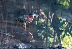 BH 10 15 18 LO-0031 (Mary D'Elia) Tags: bonnethouse florida ftlauderdale greenheron heron bird reflection water wildlife
