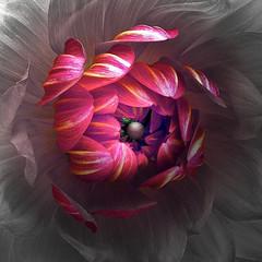 Dahlia (Pixel Fusion) Tags: nature nikon flora flower aperture macro d600 photoshop