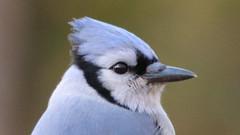 IMG_2069e (blazer8696) Tags: 2018 blja bluejay brookfield corvidae ct cyacri connecticut cyanocitta cyanocittacristata ecw obtusehill passeriformes t2018 usa unitedstates winbath blue cristata jay img2069