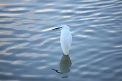 Snowy Egret (pchgorman) Tags: snowyegret egrettathula egretta taxonomy:binomial=egrettathula hendersonbirdviewingpreserve nevada ardeidae clarkcounty october animals birds