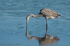 Fort De Soto Park Great Egret/Great Blue Heron hybrid 10-12-2018 (Jerry's Wild Life) Tags: greatblueheronxgreategrethybrid greatblueherongreategrethybrid greategretxgreatblueheron greategretgreatblueheronhybrid wadingbird wadingbirds