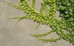 exploration (Riex) Tags: vine vignevierge mur wall concrete ciment nature lavaux vaud suisse switzerland a100 minoltaamount amount sal1680z carlzeisssonyf35451680mm variosonnartdt35451680