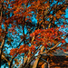 Japanese Maple Tree Full of Color