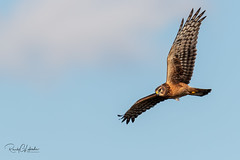 Northern Harrier - Circus cyaneus | 2018 - 4 (RGL_Photography) Tags: birding birds birdsofprey birdwatching gardenstate gatewaynationalrecreationarea henharrier jerseyshore marshhawk monmouthcounty newjersey nikonafs600mmf4gedvr nikond5 northernharrier raptors sandyhook us unitedstates wildlife wildlifephotography ©2018rglphotography
