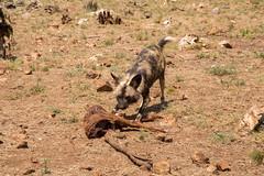 IMG_9389 (kijani_lion) Tags: lion safari park african wild dog south africa
