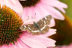 Schmetterling 181 (rgr_944) Tags: schmetterling butterfly papillon tiere insekten macro natur canoneos60deos70deos80deos7dmk2eos5dmk4 rgr944