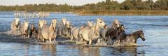 Traversée de l'étang (Xtian du Gard) Tags: xtiandugard animaux nature chevaux cavalcade waterscape landscape paysage provence france 3x1