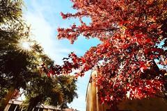 Fall leave in Hayward CA #hayward #fall #fallleafs #fallfoliage #foliage #autumn #golden #blue #sky #紅葉 #秋天 #California (phil_foto) Tags: 1635f4 canon1635 hayward fall fallleafs fallfoliage foliage autumn golden blue sky 紅葉 秋天 california