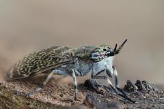 Regenbogenbremse (Sonja Hahn) Tags: regenbogenbremse bremse insekt makro facettenaugen