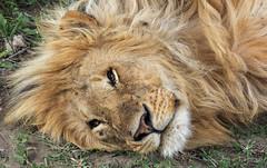 This Week Has Been Exhausting ... (AnyMotion) Tags: lion löwe pantheraleo male cat weary müde rest ruhepause katze portrait porträt porträtaufnahmen 2018 anymotion ndutu ngorongoroconservationarea tanzania tansania africa afrika travel reisen animal animals tiere nature natur wildlife 7d2 canoneos7dmarkii