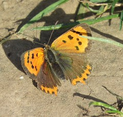 Small Copper (Lycaena phlaeas) (marksargeant57) Tags: rhopalocera lepidoptera butterfly insect lycaenaphlaeas smallcopper canonpowershotsx60hs
