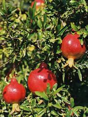 Granatäpfel ... (alf sigaro) Tags: minolta minoltax700 x700 minoltamd minoltamd50mm117 mdiii md minoltamd1750 md1750 badenwürttemberg hermannshofweinheim hermannshof granatäpfel