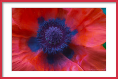 Poppy (hey its k) Tags: 2018 backyard flowers nature poppy hamilton ontario canada ca img1617e canon6d macro topaz artistic