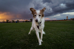 40/52 Nadja (utski7) Tags: 52weeksfordogs nadja sunset clouds fierysky october fall2018 arizona dog lawn mesa soccerfield landscape mesariverviewpark october2018