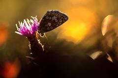 Lumière d'or ... (jeremie.brion) Tags: papillon nature macro proxy fleur butterfly