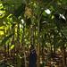 Kluai Namwa Khom_Entire plant