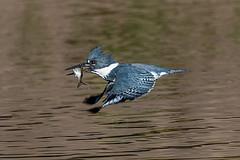 DSC_7203 kingfisher (eyegoo) Tags: beltedkingfisher kingfisher