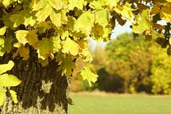 Осеннее убранство / Autumn colors (Владимир-61) Tags: осень октябрь природа дерево поле листва желтый зеленый autumn october nature tree field foliage yellow green sony ilca68 minolta28135