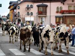 La Transumanza (maurizio.pretto) Tags: transumanza asiago italy cow autunno italia mucche animali