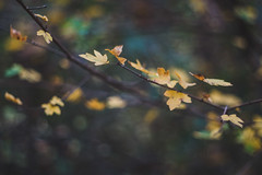 Autumn leaves (bluishgreen12) Tags: autumnleaves autumn autumncolours yellowleaf branch vintagelens vintageprime mamiyasekor55mf18 bokeh botanical sanskimost