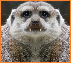 Boo! Meerkat Vampire  *lol* Happy Halloween! (BrigitteE1) Tags: halloween meerkat vampir erdmännchen happy happyhalloween teeth creepy allhallowseve brauchtum ancientcustoms custom ahappyhalloween vampire fun funny boo huuuuu vampireeffect specanimal