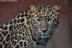 Amur leopard - Zoo Amneville (Mandenno photography) Tags: amur leopard luipaard amoerluipaard amurleopard zoo zooamneville amneville dierenpark dierentuin dieren france frankrijk bigcat big cat cats ngc nature