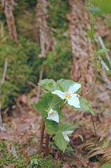 Trilium (jvde) Tags: burnaby coolscan fujicolor400 gimp flower nikonfe 3570mmf3345nikkor