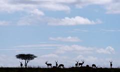 20170920_094606_Kenya_4640 (paolo_barbarini) Tags: kenya masaimara wildlife backlight silhouette gazelle
