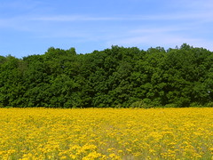 (Mark D L) Tags: yellow flowers green trees blue sky westlafayette indiana outdoor
