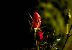 3 Red Roses. (Peter Hosey ( on and off)) Tags: roses red rosebuds flowers threeredroses