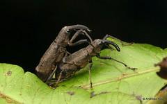 Weevils mating, Curculionidae (Ecuador Megadiverso) Tags: andreaskay beetle coleoptera curculionidae ecuador mating mindo weevil